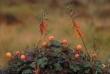 Cloudberrys(MA).jpg